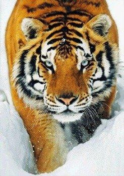 plakat 3D TIGER - SNOW