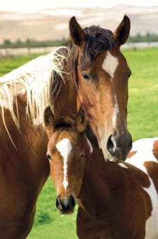 plakat HORSES - MARE AND FOAL